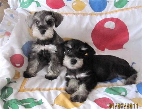 bridge puppies about us puppies on the bridge