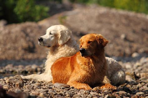 golden retriever websites golden retriever kurzbeschreibung deutscher retriever club e v
