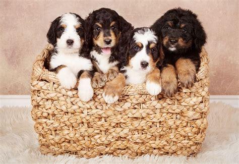 bernedoodle puppies california cedar creek bernedoodles cedar creek bernedoodles bernese mountain dogs