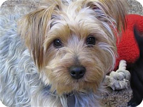 silky and yorkie mix ferguson adopted puppy east hartford ct yorkie terrier silky terrier mix