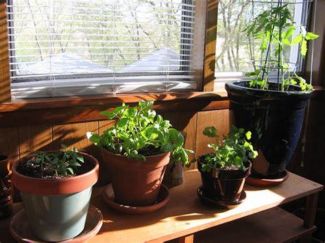 indoor herb garden  rosemary kris allen daily