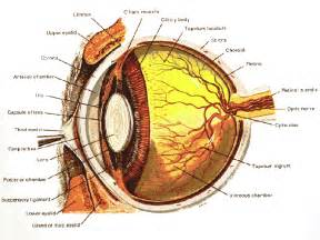 Anatomy of the canine eye please roll over and click on the names of
