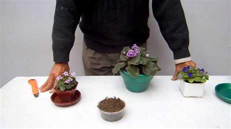 como cuidar de violetas africanas cuidado de las violetas africanas 2 youtube