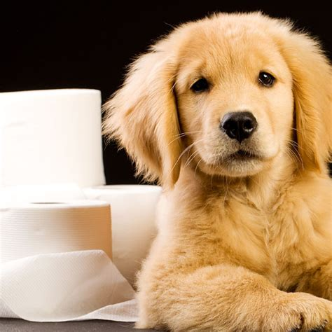 potty a stubborn puppy 5 tricks for house a stubborn puppy dogster