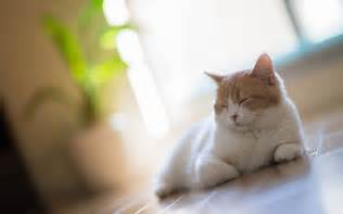 white cat asleep on the floor at home wallpapers and