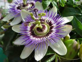 Passion Fruit Flower Tea - health maven escape from the medical mafia matrix every
