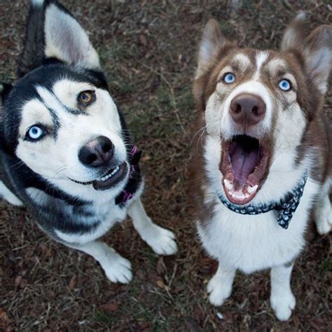 How Often Do Huskies Shed by 11 Things Only Husky Pup Parents Understand Barkpost