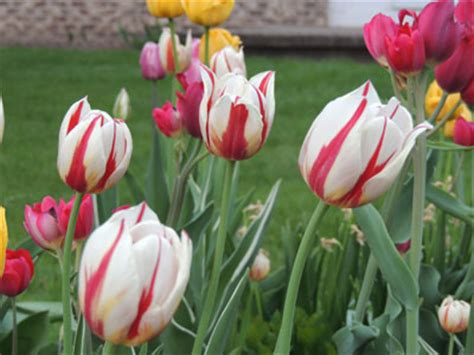 when do you plant tulips garden design garden design with