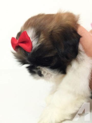 imperial shih tzu puppies for sale in california imperial shih tzu puppies 3 4 5 lb grown for sale in claremont