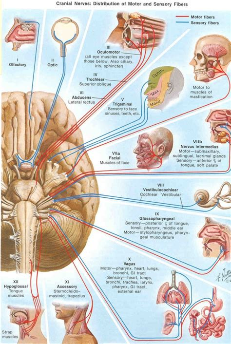 diagram and functions the brain anatomy and function human anatomy diagram
