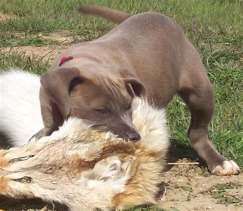 blue lacy puppies blue lacy info temperament puppies pictures