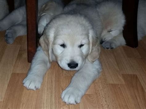 san diego golden retriever white golden retriever puppies san diego photo