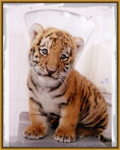imagenes leones tiernas imagenes de tigres tiernos ver imagenes de tigres