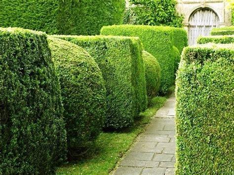 siepi giardino sempreverdi alberi da siepe siepi alberi da siepe per giardino