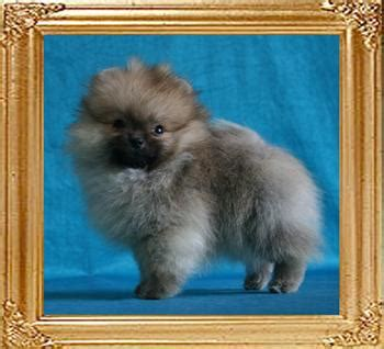 pomeranian shedding cycle development stages of canton pomeranians canton pomeranians