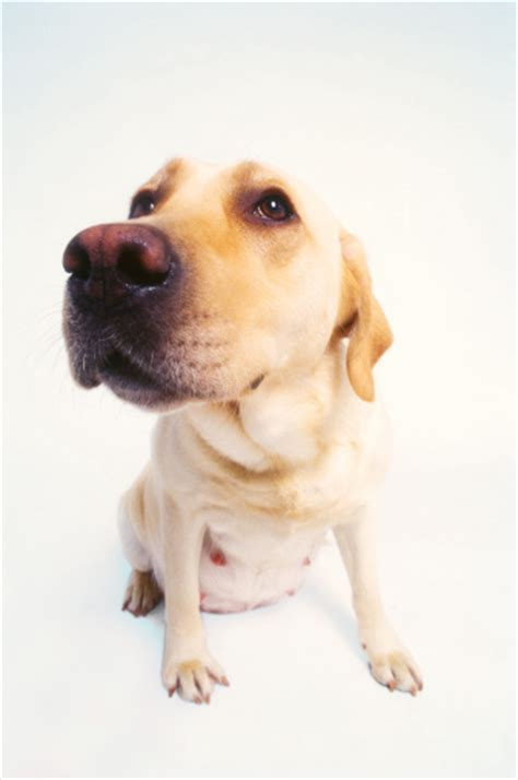 yorkie false pregnancy signs health best pet supplies review