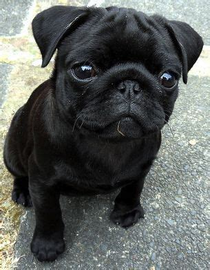 cost of pug dogs puppy crossed fingers and