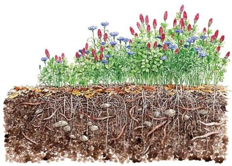 Organic Garden Soil by Use Cover Crops To Improve Soil Organic Gardening