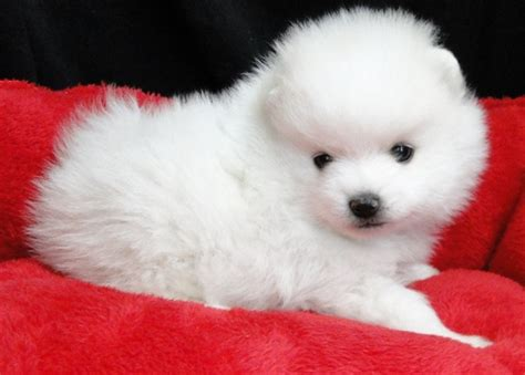 pomeranian breeders montreal doll white pomeranian puppies