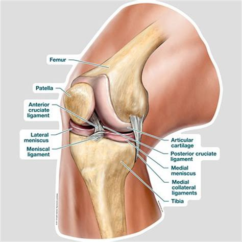 diagram of knee image result for knee anatomy health human