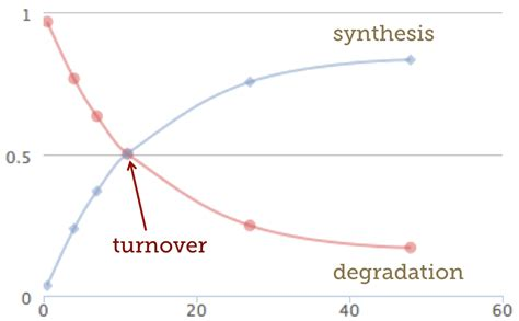 protein turnover protein degradation synthesis turnover half