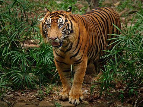 Harimaun Sumatera 1000 images about big cats on