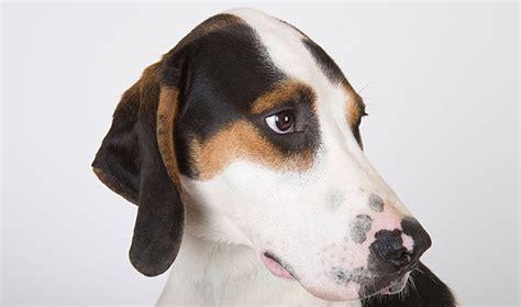 treeing walker coonhound puppy treeing walker coonhound breed information