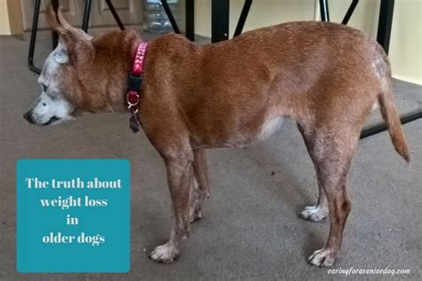 weight loss in dogs the about weight loss in dogs caring for a senior