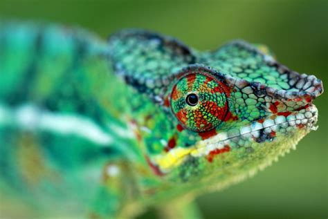 chameleons the amazing technicolour pet pets4homes