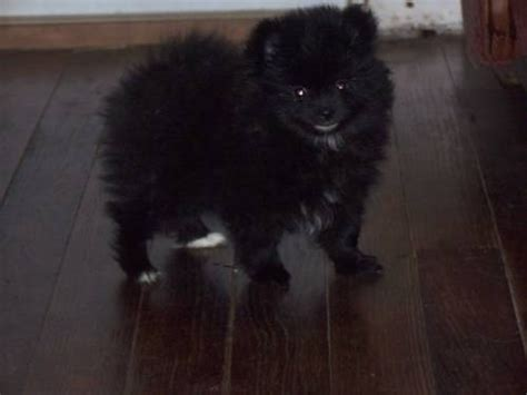 black pomeranian puppy pictures black pomeranian puppy pictures images