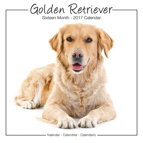 best place to buy golden retriever puppies golden retrievers calendar 2017 30464 golden retriever breeds