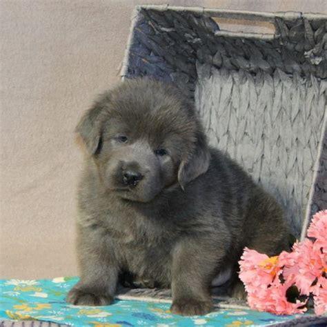 white tibetan mastiff puppies for sale 17 best ideas about tibetan mastiff for sale on tibetan mastiff puppies
