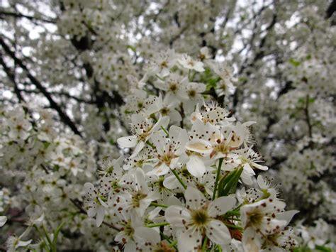 file white pear flowering tree west virginia forestwander jpg wikimedia commons