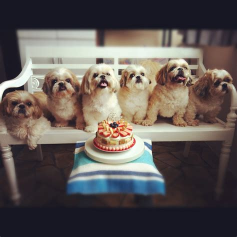 happy birthday shih tzu pictures happy 10th barkday celebration to shih tzu want fur babies shih tzu