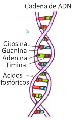 cadena del adn nucleotidos cadena de adn download scientific diagram