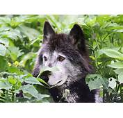 Wolf  Free Jigsaw Puzzles Online