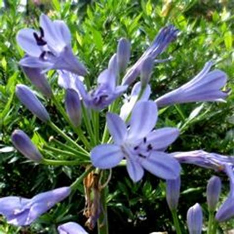 Agapanthus Biru pictures baby pete of the nile
