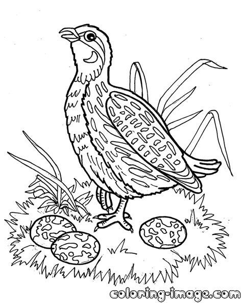 Free Coloring Page Quail by Quail Bird Free Coloring Pages For