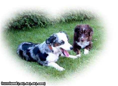 puppies salem oregon blue heeler puppies for sale salem oregon breeds picture