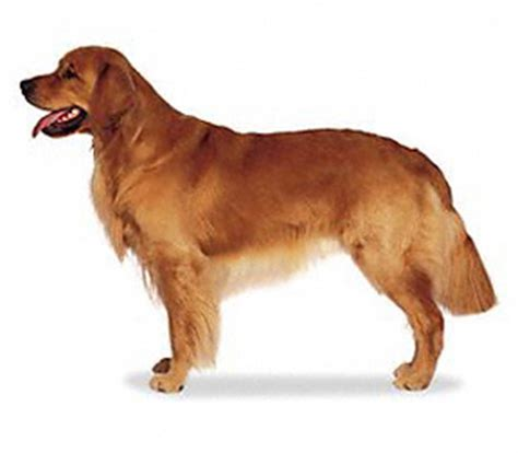golden retriever weight breed guide