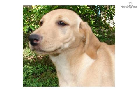 american lab puppies the gallery for gt yellow american lab puppies