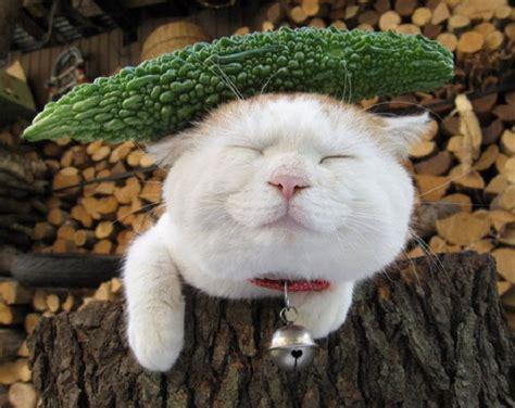 cat wallpaper nippon shironeko умиротворенная кошка на просторах интернета