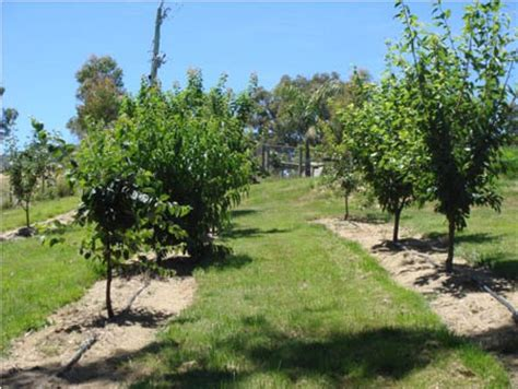 fruit trees backyard backyard orchard