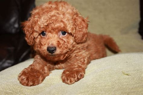 red toy kennel club registered red toy poodles pra clear sutton