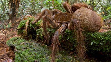 puppy sized spider puppy sized spider shocks scientist in rainforest
