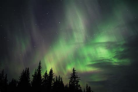 northern lights trees northern lights with spruce trees photograph by michele