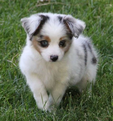 australian shepherd puppies for sale in louisiana 25 best ideas about aussie puppies for sale on mini aussie for sale mini