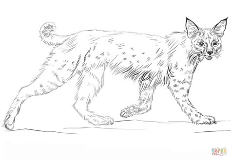 coloring pages of bobcats bobcat printable coloring pages