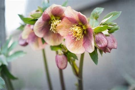 rosa di natale in vaso elleboro la rosa di natale