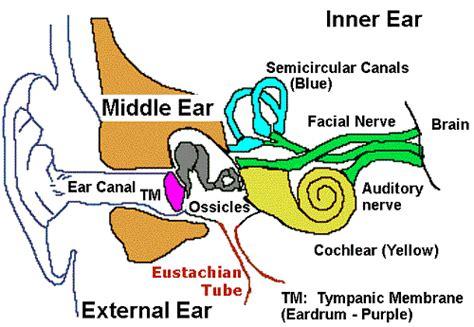labeled ear diagram ear diagram clip 36